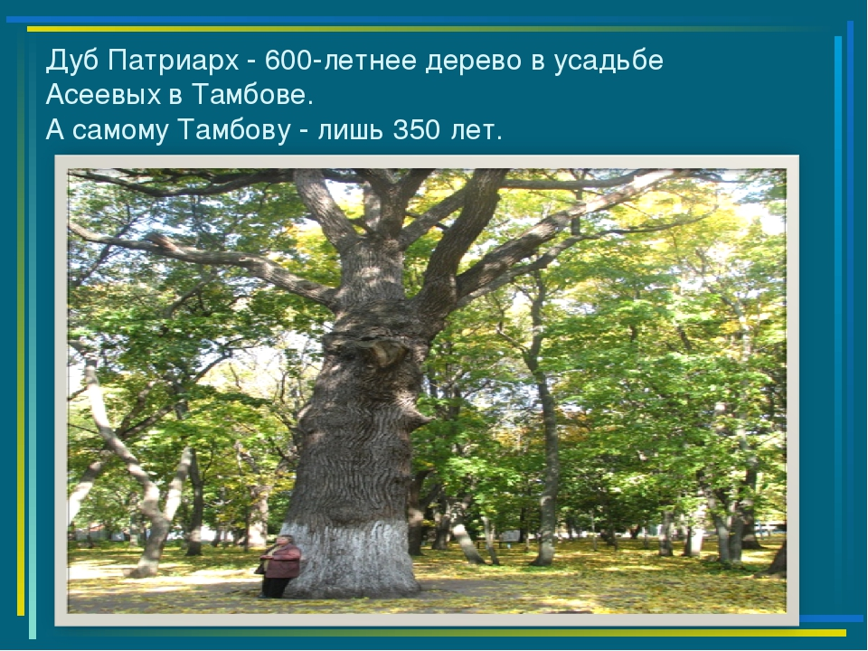 Дуб Патриарх - 600-летнее дерево в усадьбе Асеевых в Тамбове. А самому Тамбов...