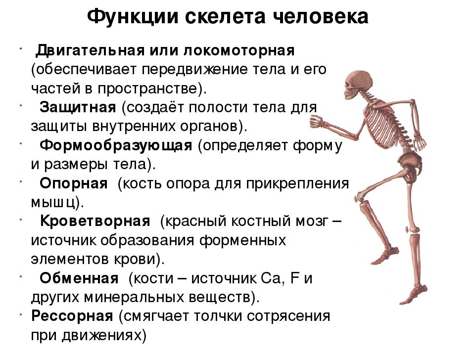 Функция скелета помогающая смягчить сотрясения толчки
