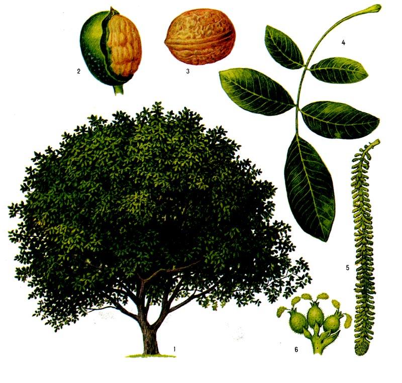 ногтей картинки плодов деревьев с названиями когда железная