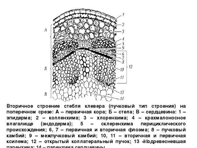 Строение стебля вторичное