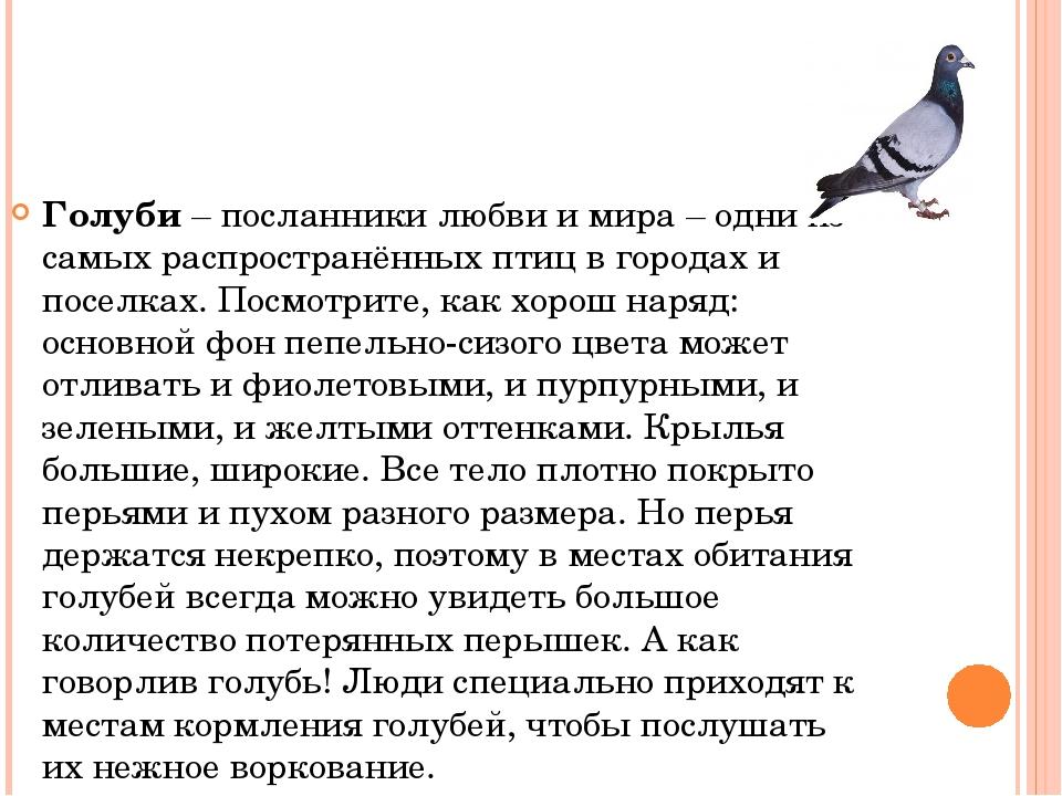 Голуби – посланники любви и мира – одни из самых распространённых птиц в горо...