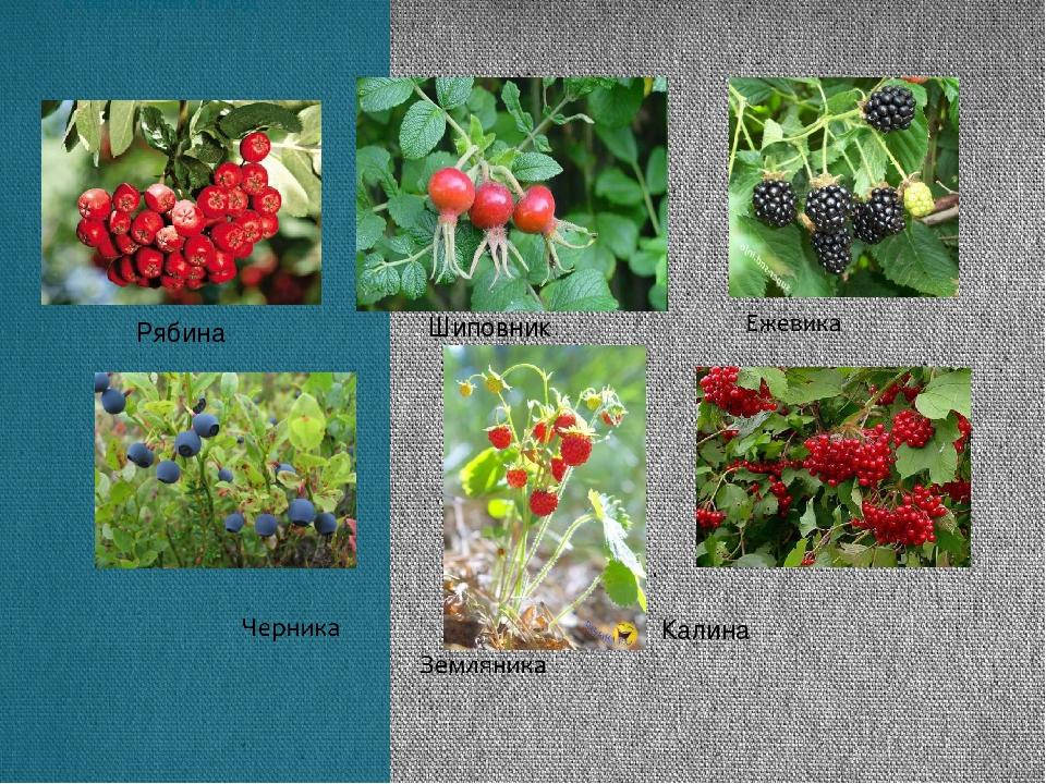 В лесах растёт много съедобных ягод Шиповник Рябина Калина
