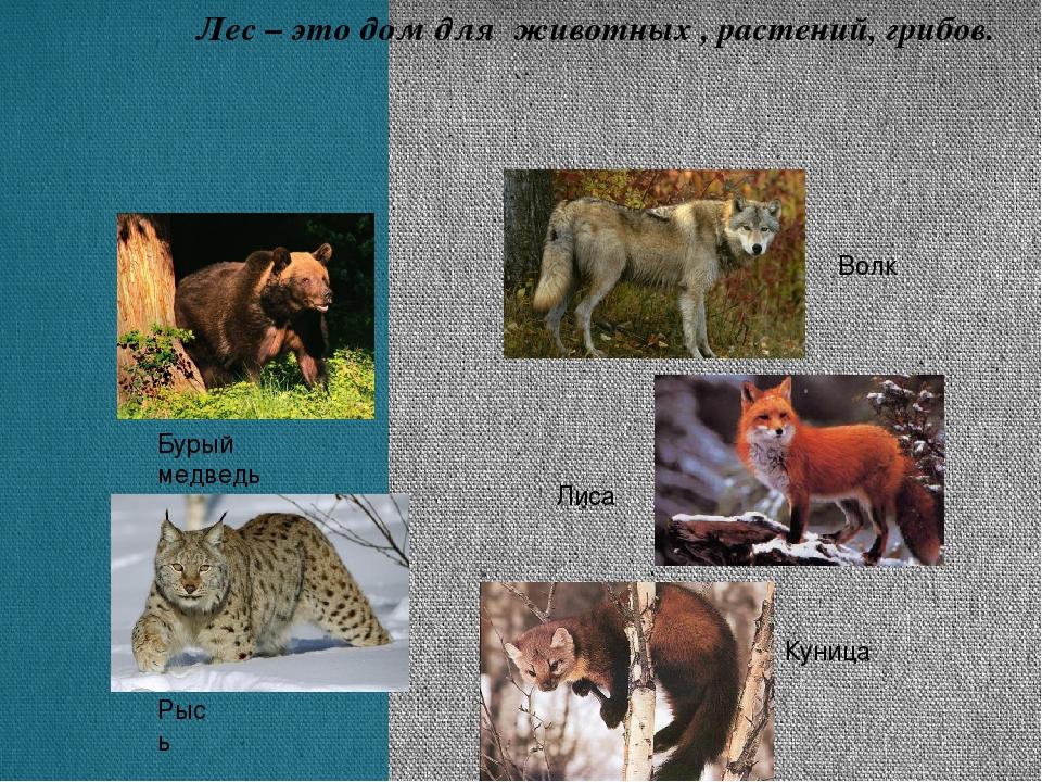 Бурый медведь Куница Лиса Волк Рысь Лес – это дом для животных , растений, гр...
