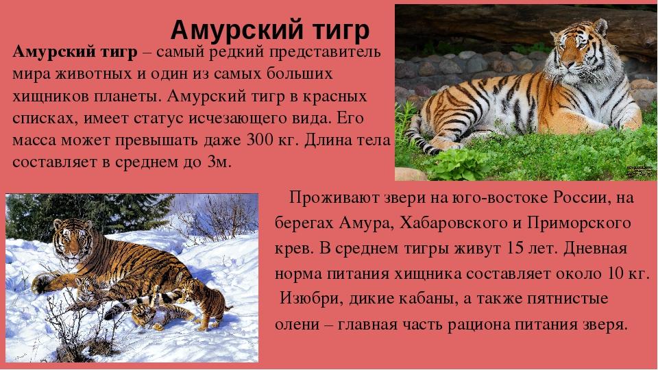 амурский тигр картинка с описанием микроблоге