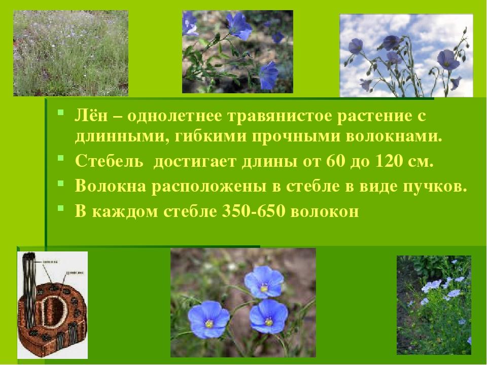 Лён – однолетнее травянистое растение с длинными, гибкими прочными волокнами....