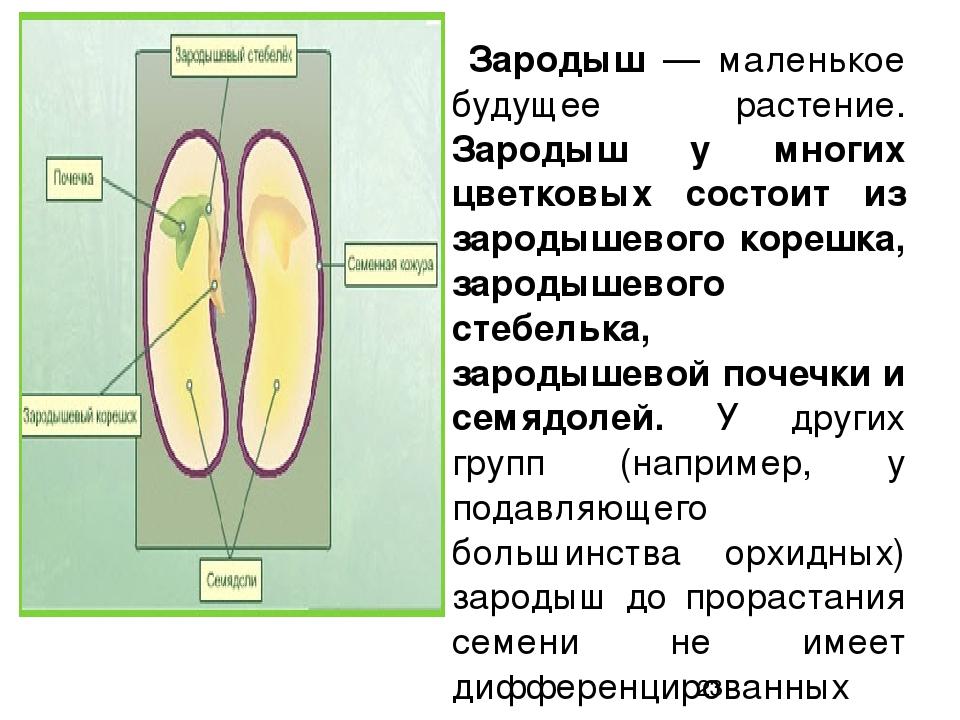 зародыш у растений как называется - 11