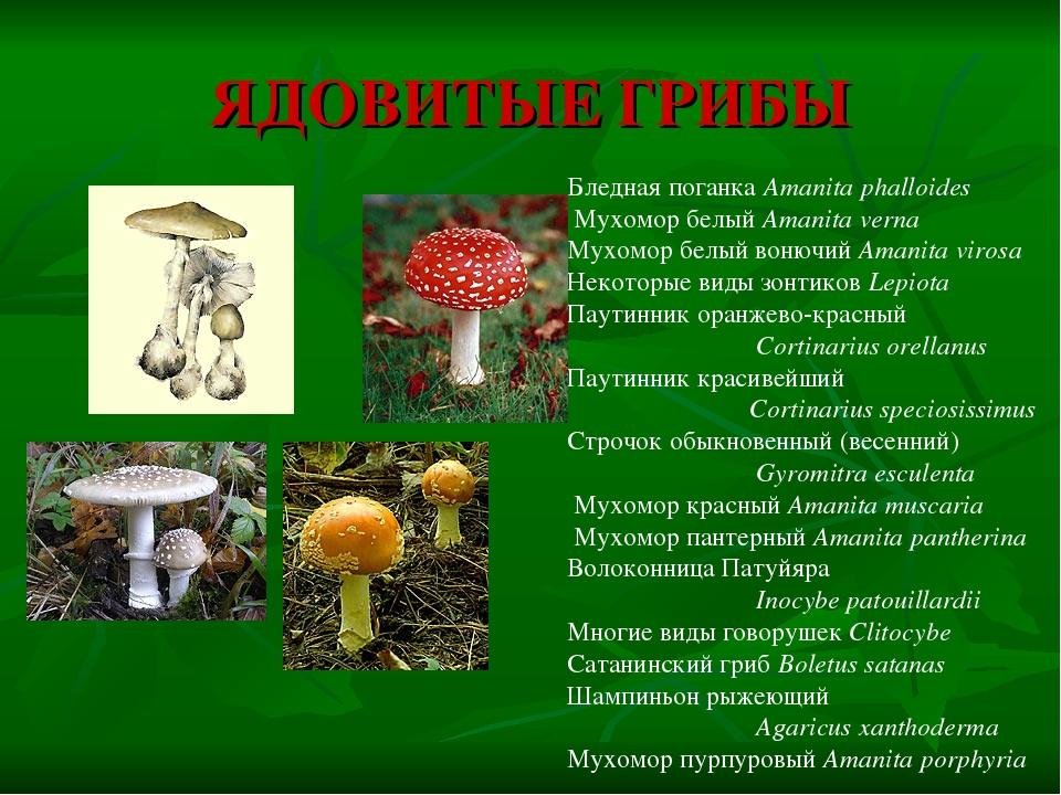 ядовитые грибы россии презентация чтобы