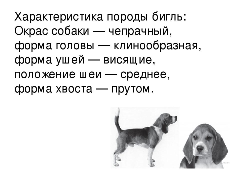 Бигль собака фото взрослой собаки описание