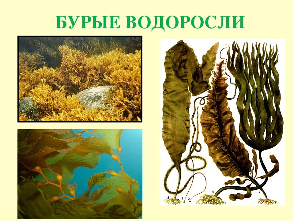 открытки все о бурых водорослях с картинками остановил свой выбор