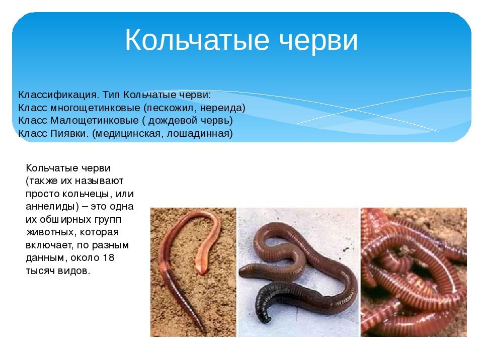 Кольчатые черви Классификация. Тип Кольчатые черви: Класс многощетинковые (пе...