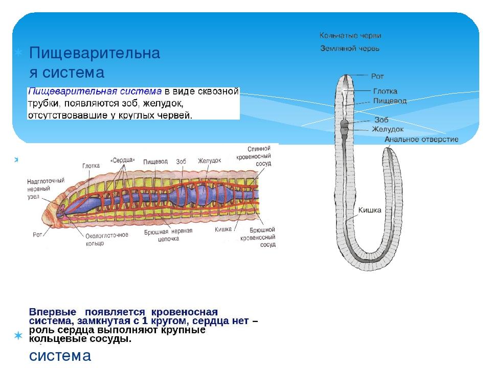 Пищеварительная система Строение Кровеносная система