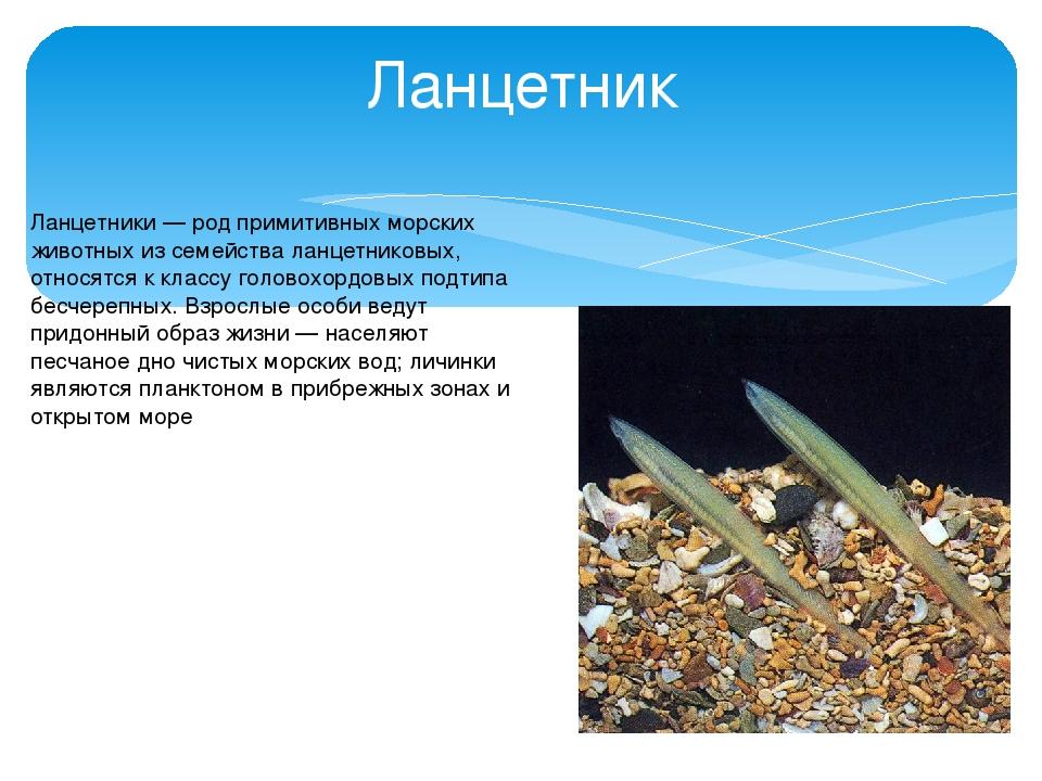 Ланцетник Ланце́тники — род примитивных морских животных из семейства ланцетн...