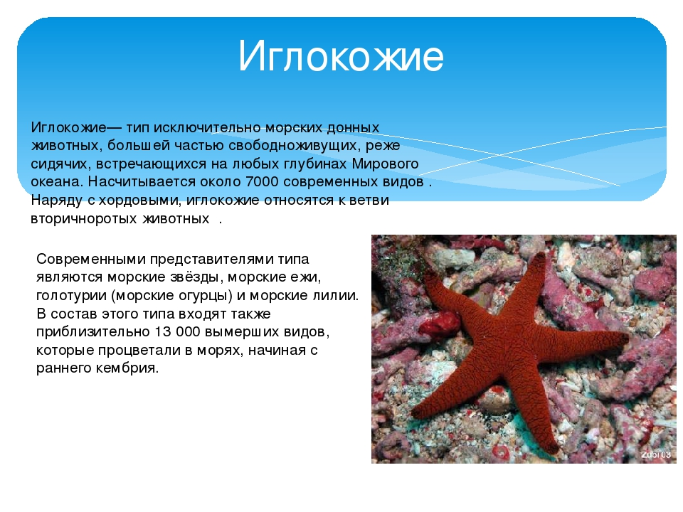 Иглокожие Иглоко́жие— тип исключительно морских донных животных, большей част...