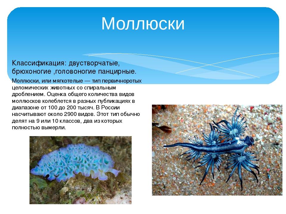 Моллюски Классификация: двустворчатые, брюхоногие ,головоногие панцирные. Мол...