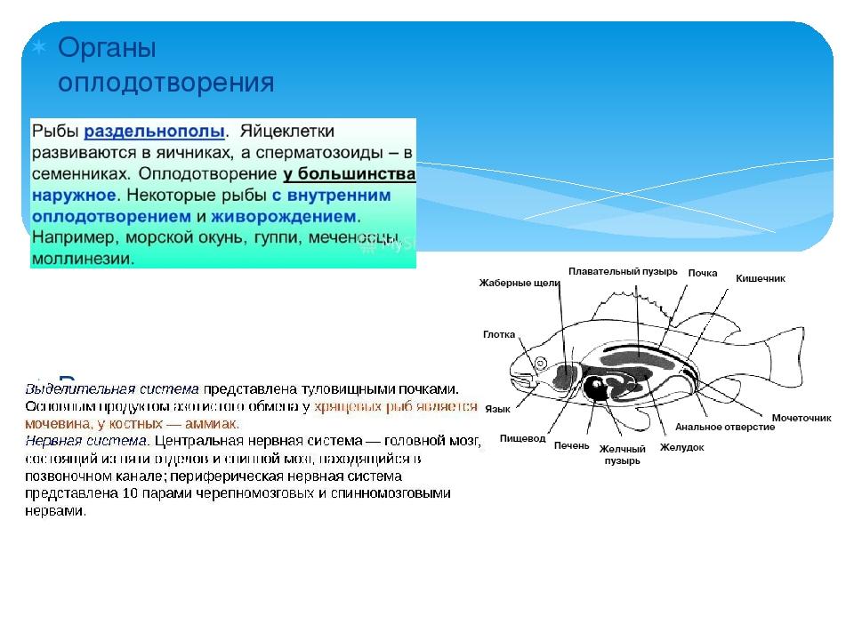 Органы оплодотворения Выделительная система