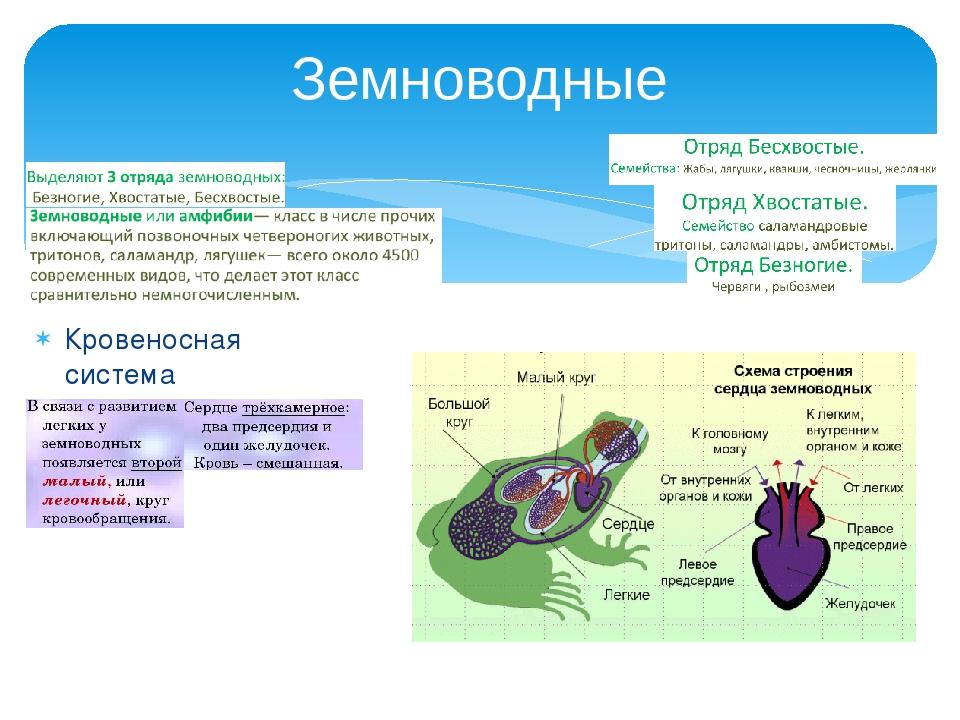 Кровеносная система Земноводные