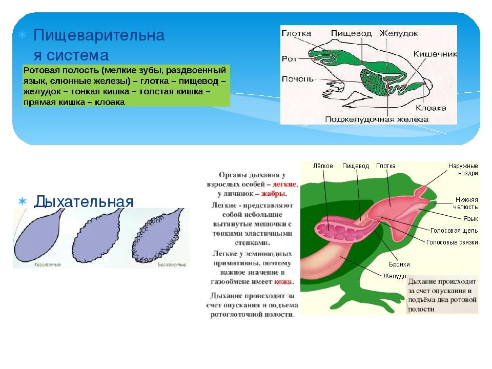 Пищеварительная система Дыхательная система