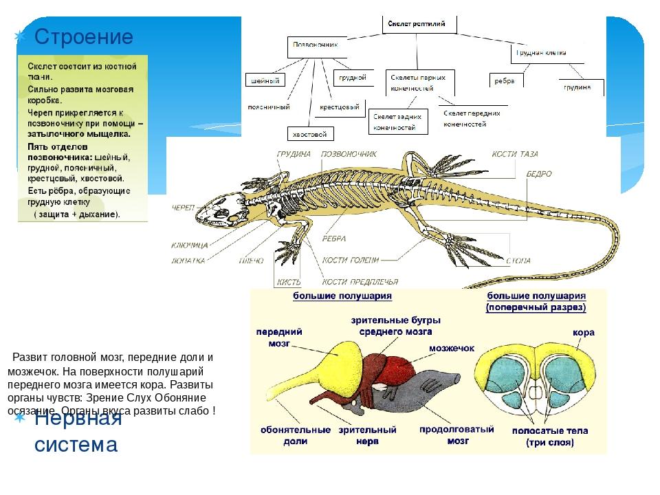 Строение скелета Нервная система Развит головной мозг, передние доли и мозже...