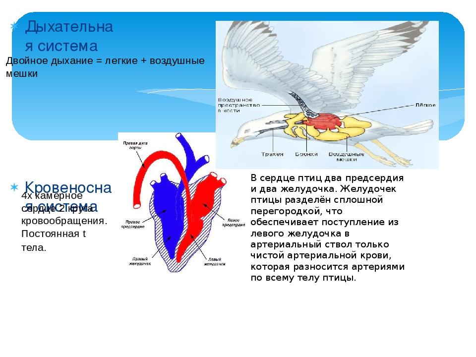 Дыхательная система Кровеносная система Двойное дыхание = легкие + воздушные...