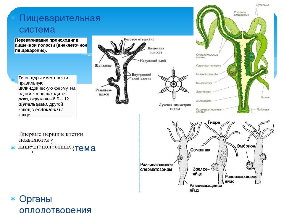 Пищеварительная система Строение Нервная система Органы оплодотворения