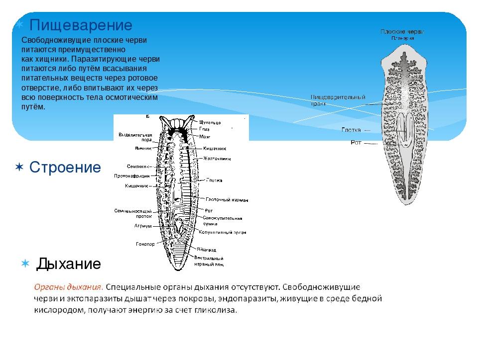 Пищеварение Строение Свободноживущие плоские черви питаются преимущественно к...
