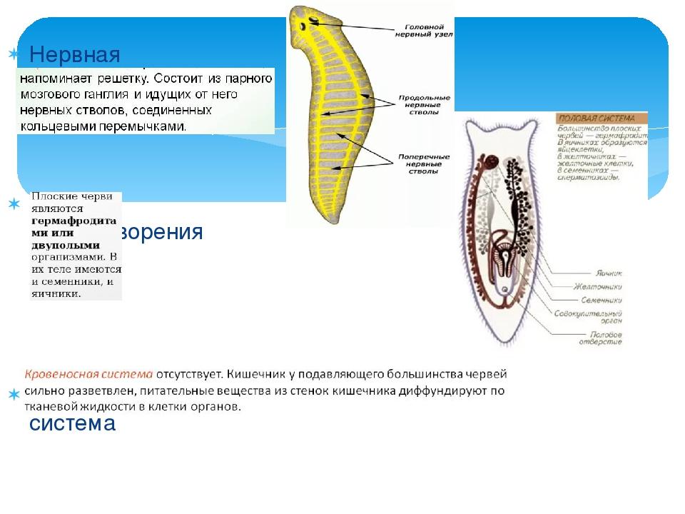 Нервная система Органы оплодотворения Кровеносная система