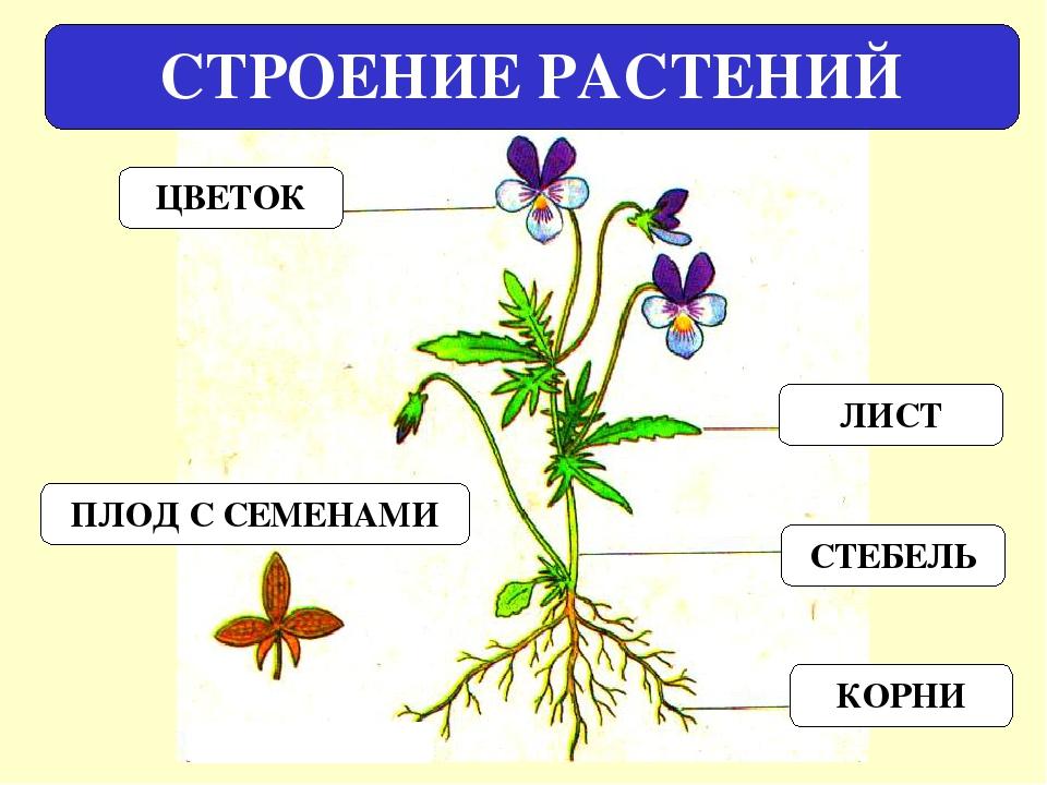 первую внешнее строение растения картинки необходимые