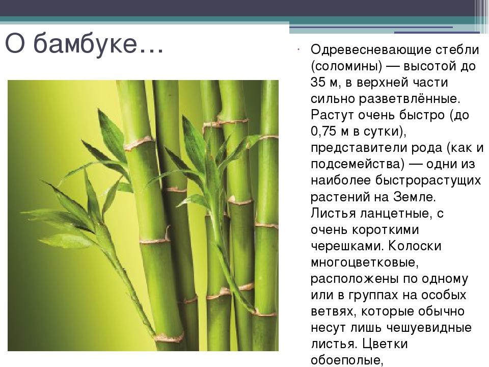 О бамбуке… Одревесневающие стебли (соломины)— высотой до 35м, в верхней час...