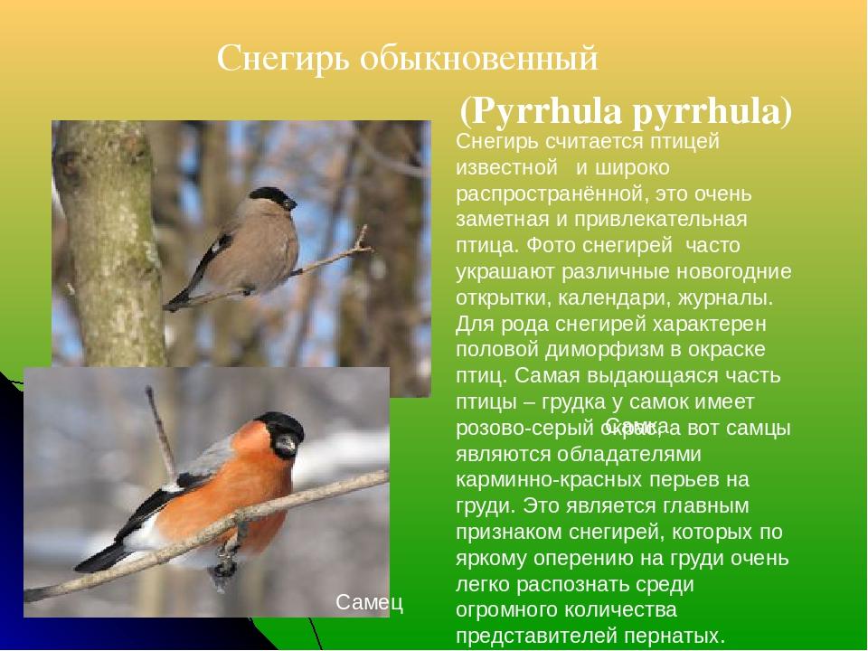 Снегирь обыкновенный (Pyrrhula pyrrhula) Самец Самка Снегирь считается птиц...
