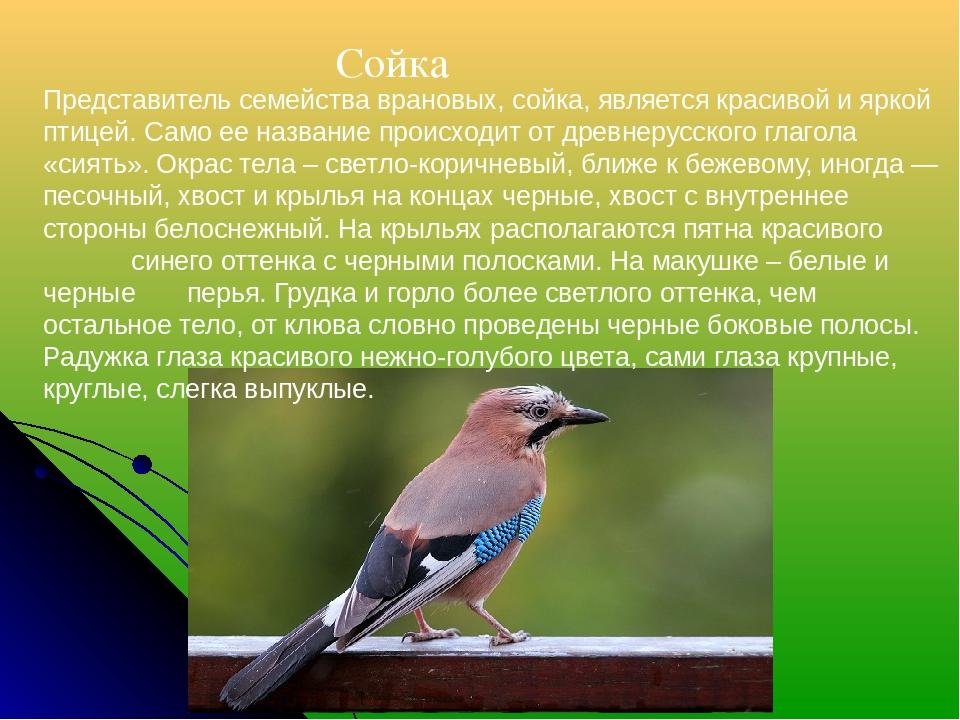Сойка Представитель семейства врановых, сойка, является красивой и яркой пти...