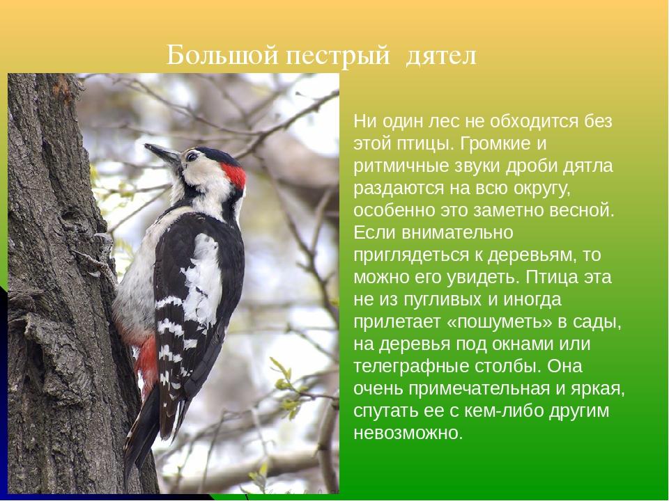 Большой пестрый дятел Ни один лес не обходится без этой птицы. Громкие и рит...