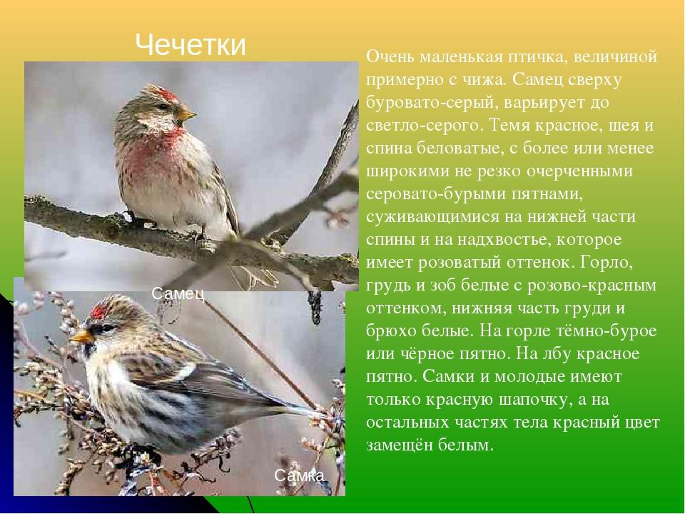 Чечетки Самка Самец Очень маленькая птичка, величиной примерно с чижа. Самец...