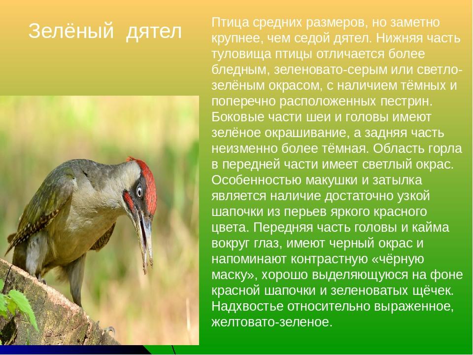 Зелёный дятел Птица средних размеров, но заметно крупнее, чем седой дятел. Ни...