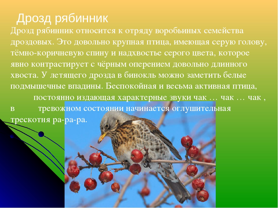 Дрозд рябинник Дрозд рябинник относится к отряду воробьиных семейства дроздов...