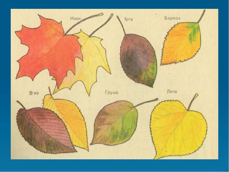 этих показать в картинках листья разных деревьев творческая