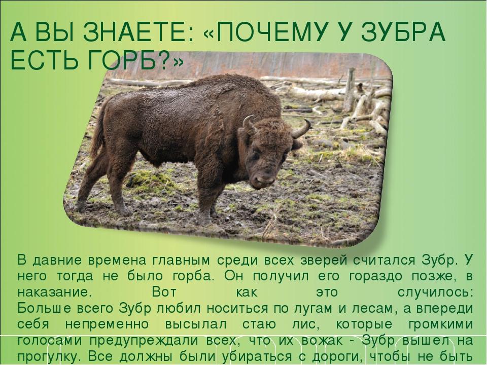 покажем, зубр описание интересные факты фото противниками хищников являются