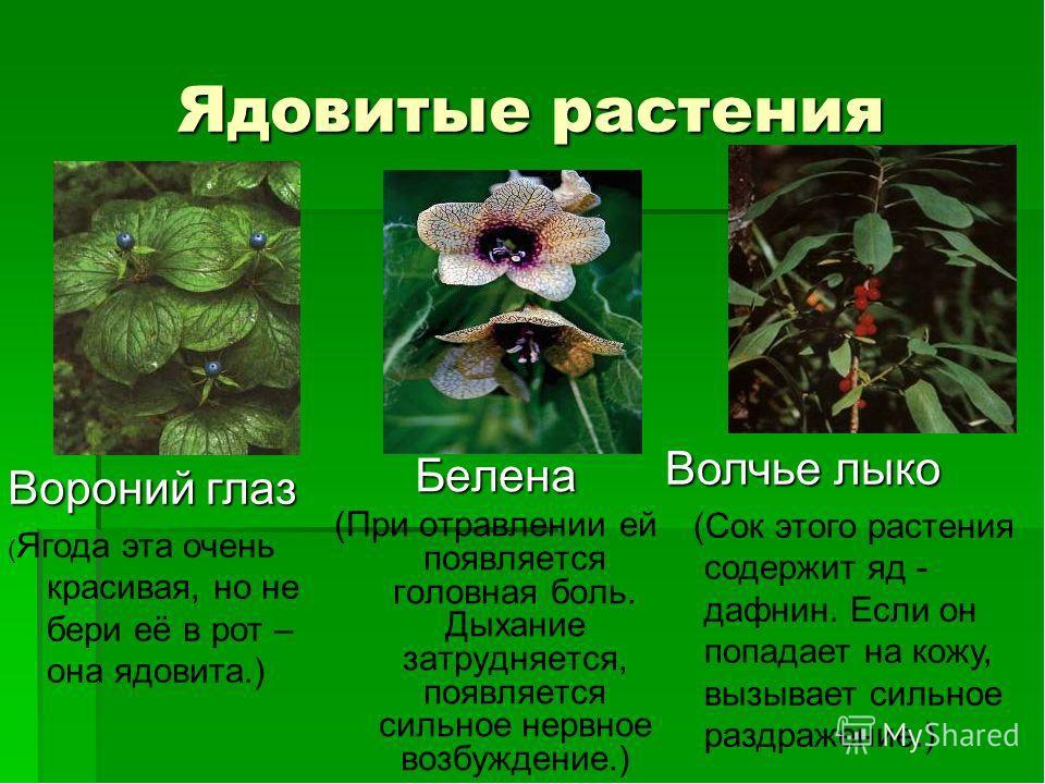 Ядовитые растения и название и описание для детей 95