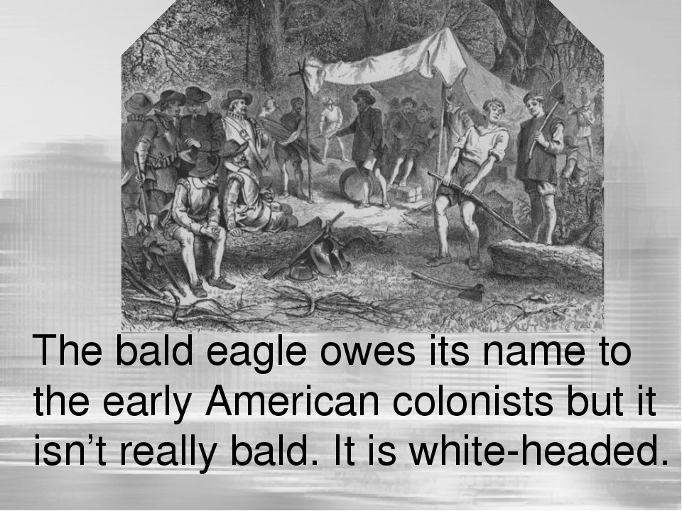 The bald eagle owes its name to the early American colonists but it isn't re...