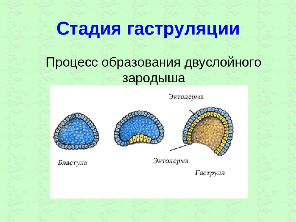 Стадия гаструляции Процесс образования двуслойного зародыша