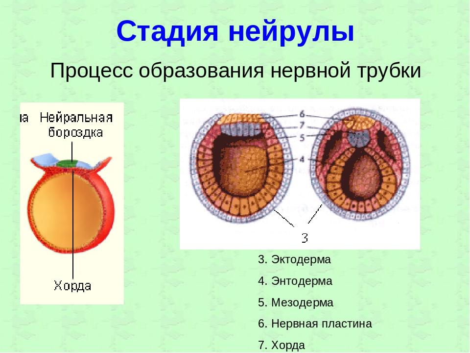 Стадия нейрулы Процесс образования нервной трубки 3. Эктодерма 4. Энтодерма 5...