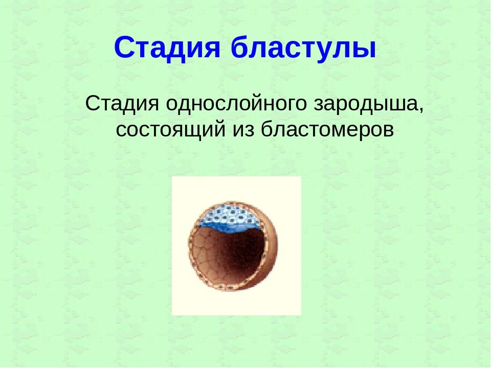 Стадия бластулы Стадия однослойного зародыша, состоящий из бластомеров