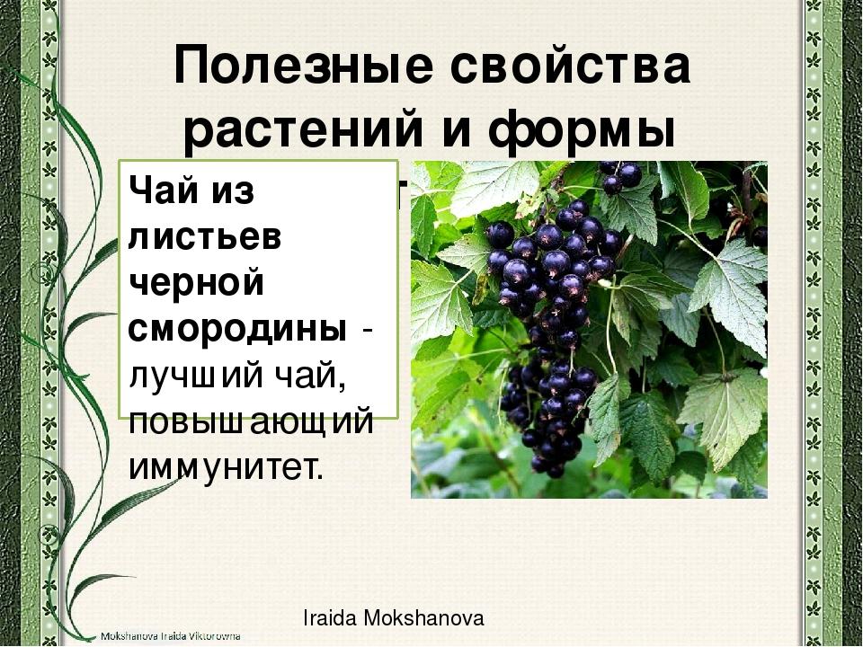Лист черной смородины полезные свойства и противопоказания