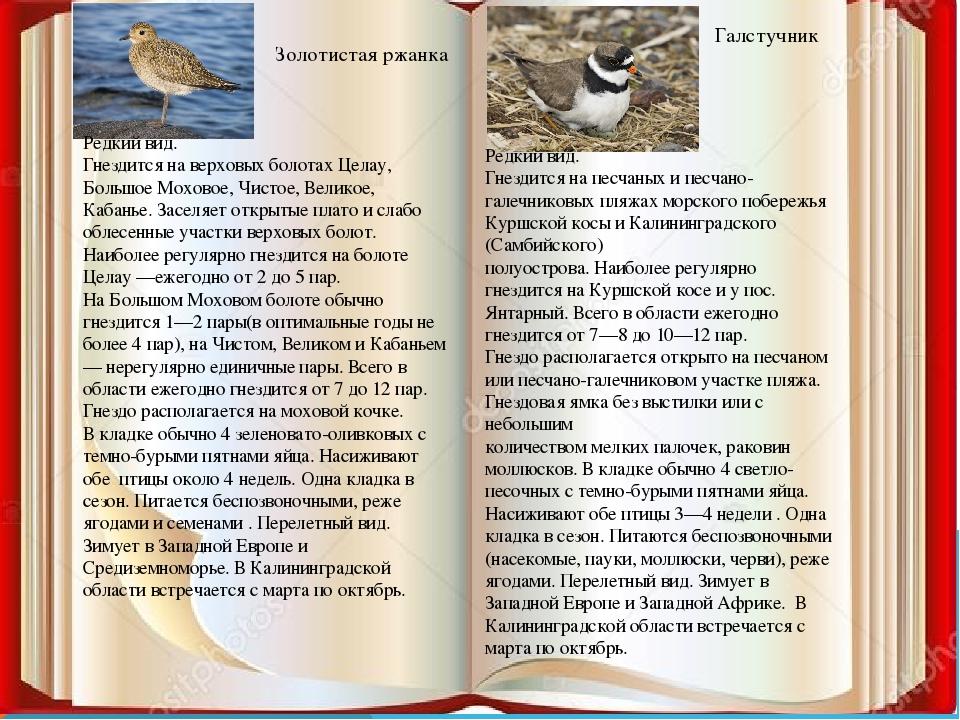 Золотистая ржанка Галстучник Редкий вид. Гнездится на верховых болотах Целау,...