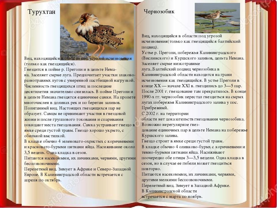 Турухтан Чернозобик Вид, находящийся в области под угрозой исчезновения (толь...