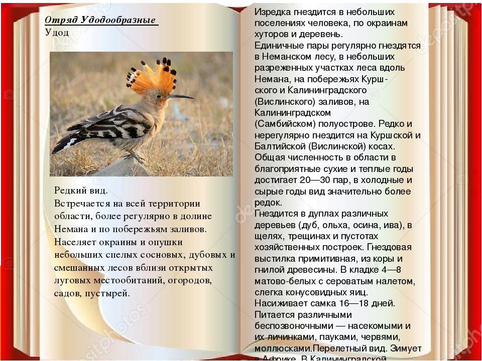 Отряд Удодообразные Удод Изредка гнездится в небольших поселениях человека, п...