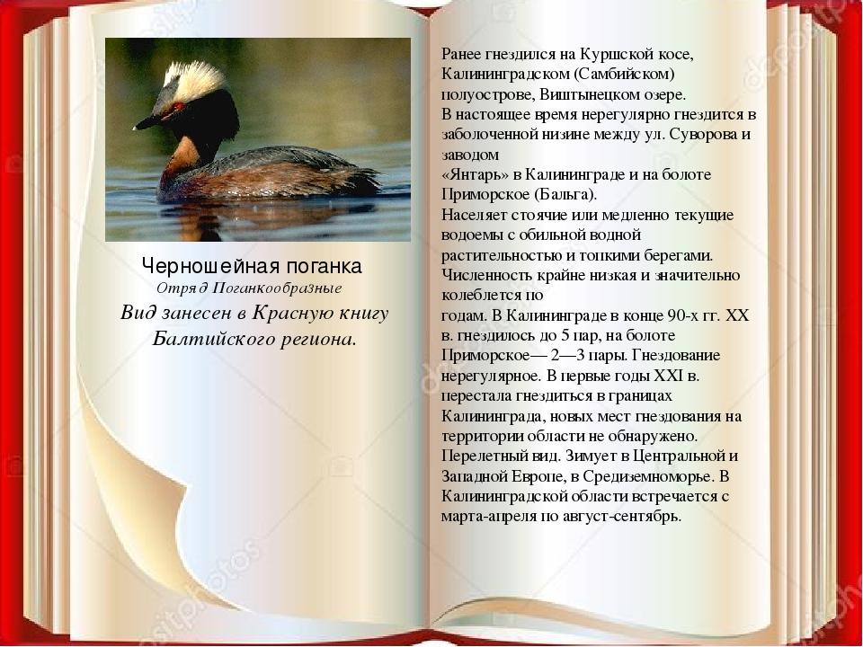 Ранее гнездился на Куршской косе, Калининградском (Самбийском) полуострове, В...