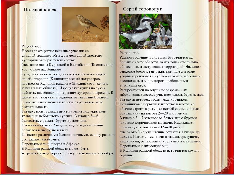Полевой конек Серый сорокопут Редкий вид. Населяет открытые песчаные участки...
