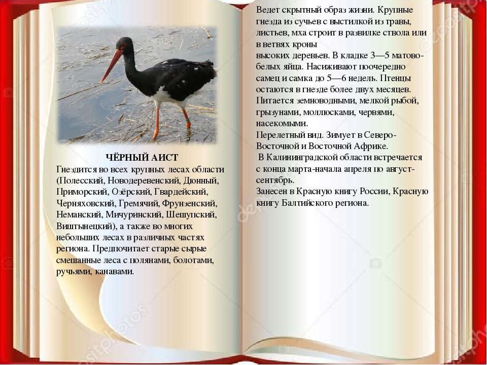ЧЁРНЫЙ АИСТ Гнездится во всех крупных лесах области (Полесский, Новодеревенск...