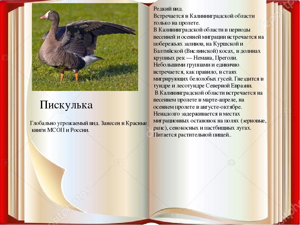 Пискулька Редкий вид. Встречается в Калининградской области только на пролете...