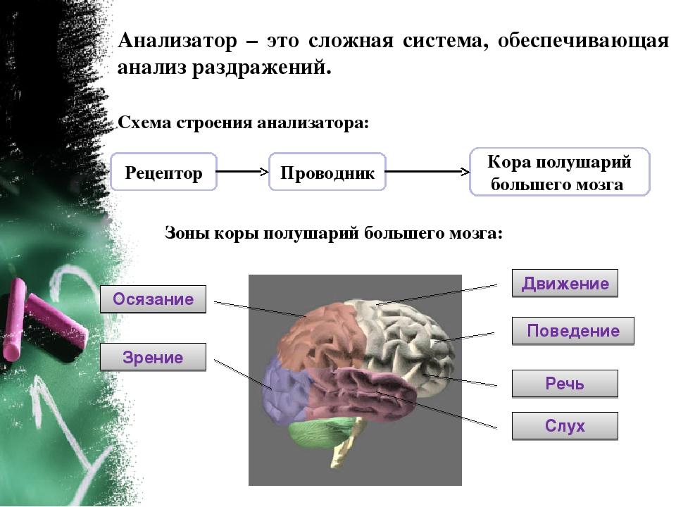 Анализатор – это сложная система, обеспечивающая анализ раздражений. Схема ст...